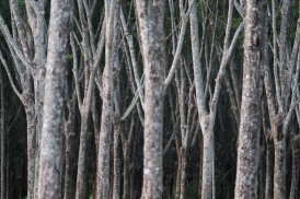 Rubber plantation. X-Pro2 + XF50-140mm +1.4TC.