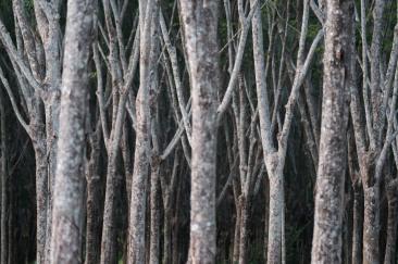 Rubber plantation. X-Pro2 + XF50-140mm +1.4TC.
