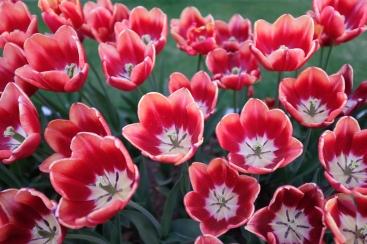 Tulips. X100F.