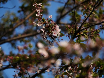 First sight of Cherry Blossom. GFX + GF110mm